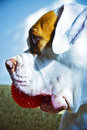 American Bulldog Stock Photos
