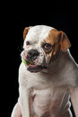 American Bulldog Dog plays with the ball Royalty Free Stock Photo