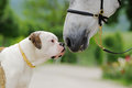 American bulldog and horse