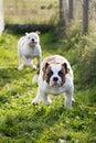 American Bulldog puppy on nature