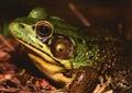 American Bullfrog Stock Image