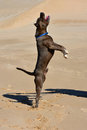 American bully dog full body profile of a gray with alert facial expression jumping up in the sand Stock Photography