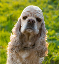 American cocker spaniel on blured nature background Royalty Free Stock Images