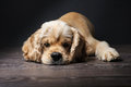 American cocker spaniel Royalty Free Stock Photo