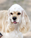 American cocker spaniel sitting in front Stock Images