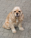 American cocker spaniel sitting on a pavement Royalty Free Stock Photography