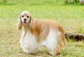 American cocker spaniel a small young beautiful fawn light cream and white dog standing on the grass with its coat clipped into a Royalty Free Stock Photos