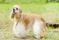 American cocker spaniel a small young beautiful fawn light cream and white dog standing on the grass with its coat clipped into a Royalty Free Stock Photo