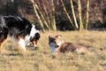 American collie pup is lieing on a meadow Royalty Free Stock Photography