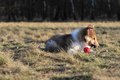 American collie pup is lying on a meadow Stock Images