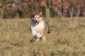 American collie pup is running over a meadow Royalty Free Stock Photography