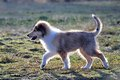 American collie pup is running over a meadow Stock Images