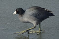 American coot bird or fulica americana walking on ice of frozen winter lake Stock Images