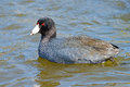 American coot floating in the water Stock Images