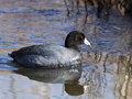 American coot floating in water Stock Images