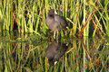 American Coot Fulica americana Royalty Free Stock Photo