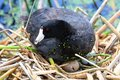 An American Coot sits on a egg as it hatches Royalty Free Stock Photo