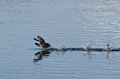 American coot sprinting across the water an Royalty Free Stock Photo
