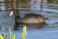 American Coot & x28;Fulica americana& x29; Royalty Free Stock Photo