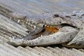 American crocodile (Crocodylus acutus) Basking in The Sun Royalty Free Stock Photo