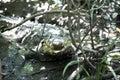 American crocodile (Crocodylus acutus) in wildlife in Palo Verde National Park Royalty Free Stock Photo
