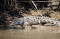 American Crocodile Royalty Free Stock Photo