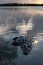 American Crocodile in Shallow Water Royalty Free Stock Photo
