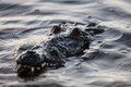 American Crocodile in Water Royalty Free Stock Photo