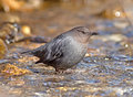 American dipper portrait of an searching for food in a fast flowing stream also known as the water ouzel it bobs up and down Royalty Free Stock Photos