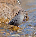 American dipper portrait of an searching for food in a fast flowing stream also known as the water ouzel it bobs up and down Stock Image