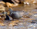 American dipper portrait of an searching for food in a fast flowing stream also known as the water ouzel it bobs up and down Stock Photo
