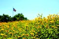 American Flag in a Field of Flowers Royalty Free Stock Photo