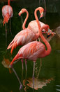 American Flamingo Royalty Free Stock Image