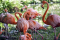 American Flamingo (Phoenicopterus ruber) Royalty Free Stock Photo