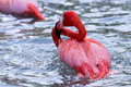 American Flamingo - phoenicopterus ruber Royalty Free Stock Photo