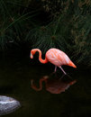 American flamingo with reflection in water red the nature protection and fauna preservation natural bioparks Stock Photography