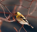 American Goldfinch bird Royalty Free Stock Image