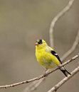 American goldfinch carduelis tristis perched on a tree branch Royalty Free Stock Images