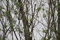 American goldfinch perched on a branch Royalty Free Stock Photo
