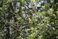 An american goldfinch perched on a branch Royalty Free Stock Photo