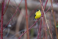 American goldfinch perched on a tree branch Royalty Free Stock Images