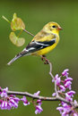 American Goldfinch in Spring Season Stock Image