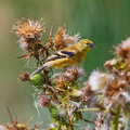 stock image of  American Goldfinch on thistle plant