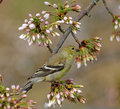 American Goldfinch in tree Stock Images