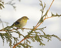 American goldfinch in winter. Stock Images
