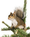 American gray squirrel on top of a spruce tree Stock Photos
