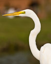American great egret a close image of a white with the background out of focus Stock Photo