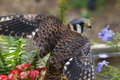 American Kestrel Royalty Free Stock Photo