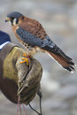 American kestrel at a bird sanctuary near otavalo ecuador standing on the leather glove of his trainer an andean Stock Photo