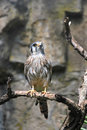 American Kestrel bird sitting on a tree branch Royalty Free Stock Photography